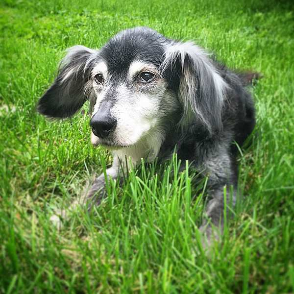 oldest-adopted-dogs-214-57ac15b9ca203__605