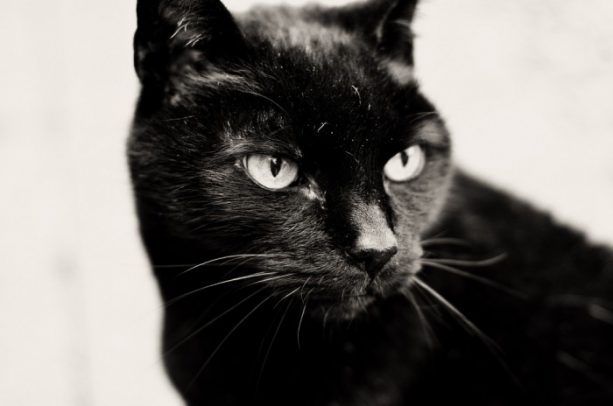бомбейская-кошка-8-700x464