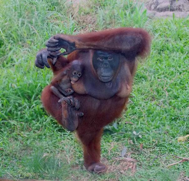 animals-yoga-poses-81-57bd528adb68f__605
