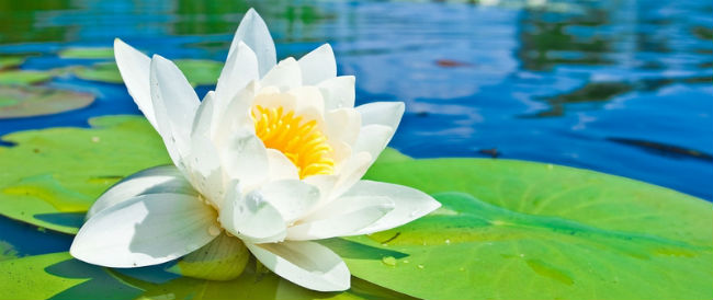 nature___flowers_white_lotus_on_the_lake_041595_