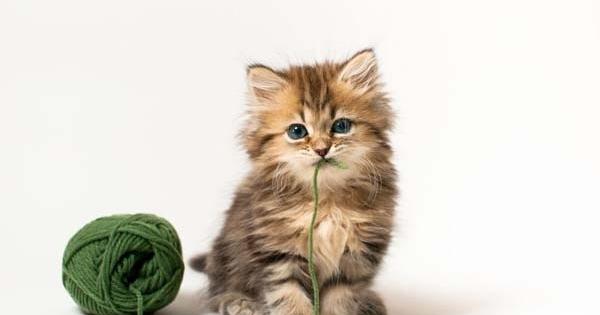 67390-daisy-kucing-lucu-populer-di-internet