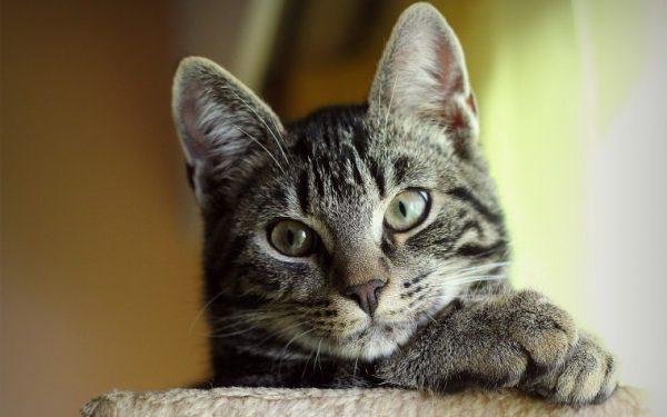 серый-кот-5