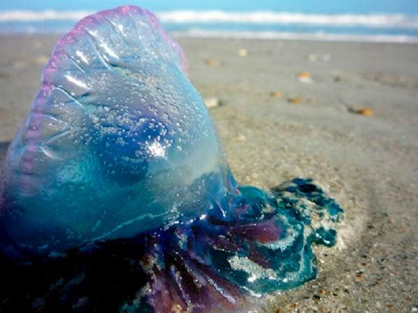 opasnaya-meduza-8