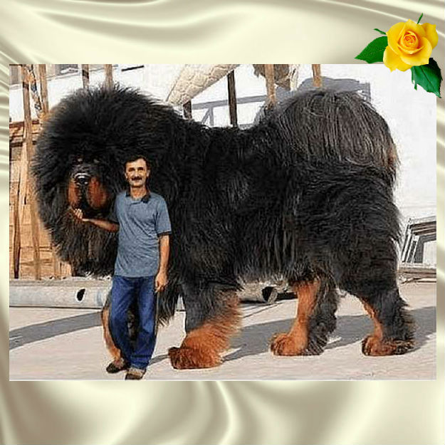 Эта собака считается самой дорогой на земле