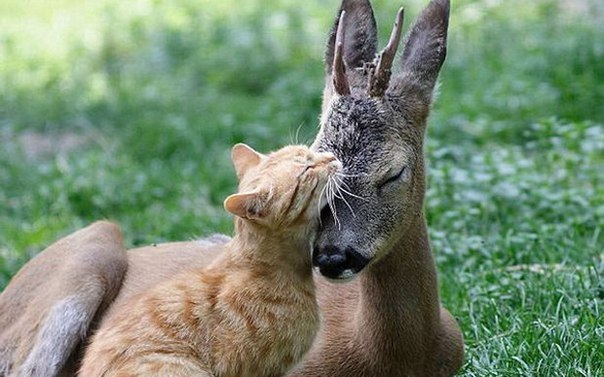 The cat replaced the mother of a little fawn*** Кошка заменила маленькому олененку маму