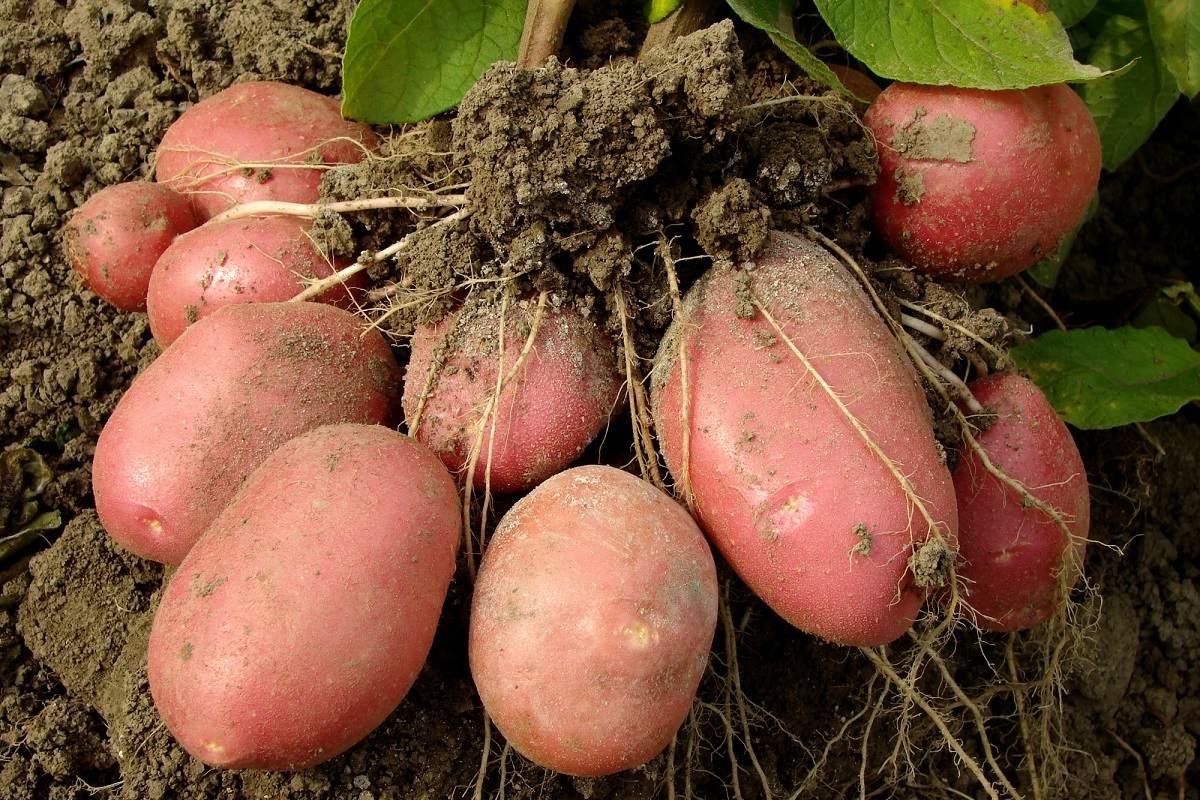 Сосед культивирует картофель, научил, как надрезать клубни перед посадкой для щедрого урожая